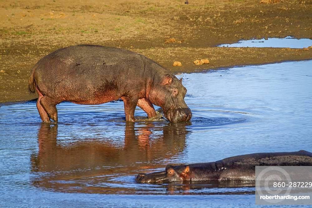 Hippopotamus (Hippopotamus amphibius) in Kruger National park, South Africa