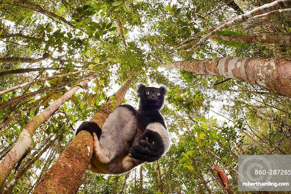 The critically endangered Indri indri photographed in the Mitsinjo natural reserve. This wild individual was feed by leaves to a scientist that was monitoring this group. Madagascar Finalist at Montier en der et à Namur festival 2018.