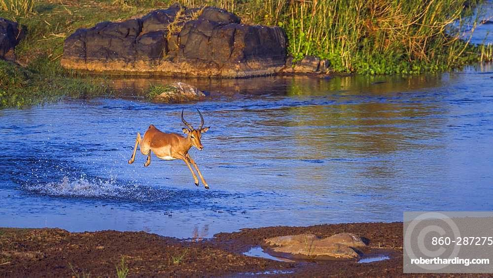 Common Impala (Aepyceros melampus) in Kruger National park, South Africa