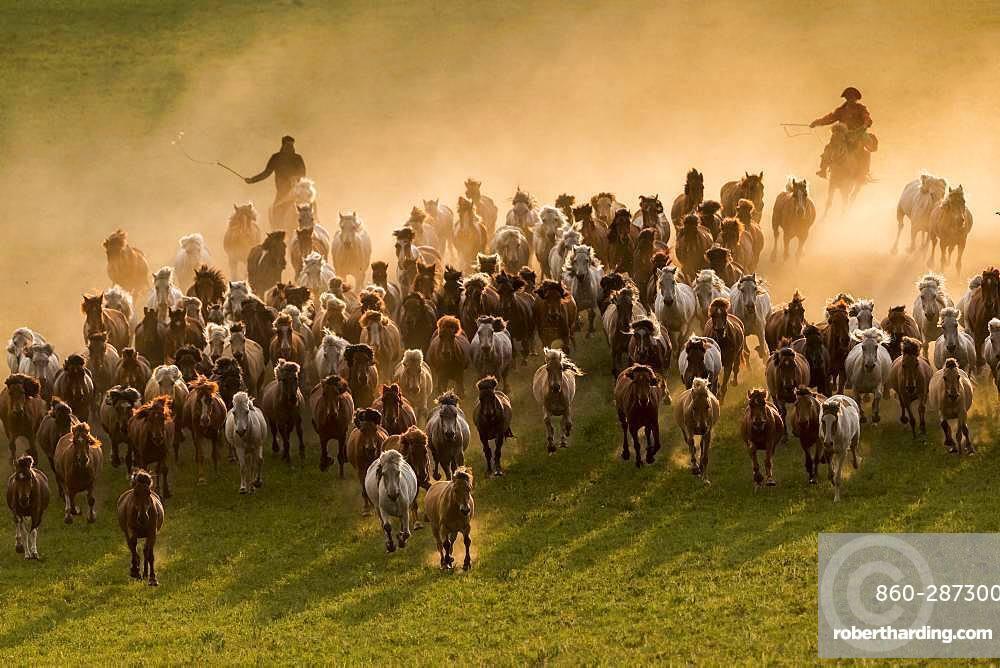 Mongolians horsemen, lead a troop of horses running in a group in the meadow, Bashang Grassland, Zhangjiakou, Hebei Province, Inner Mongolia, China