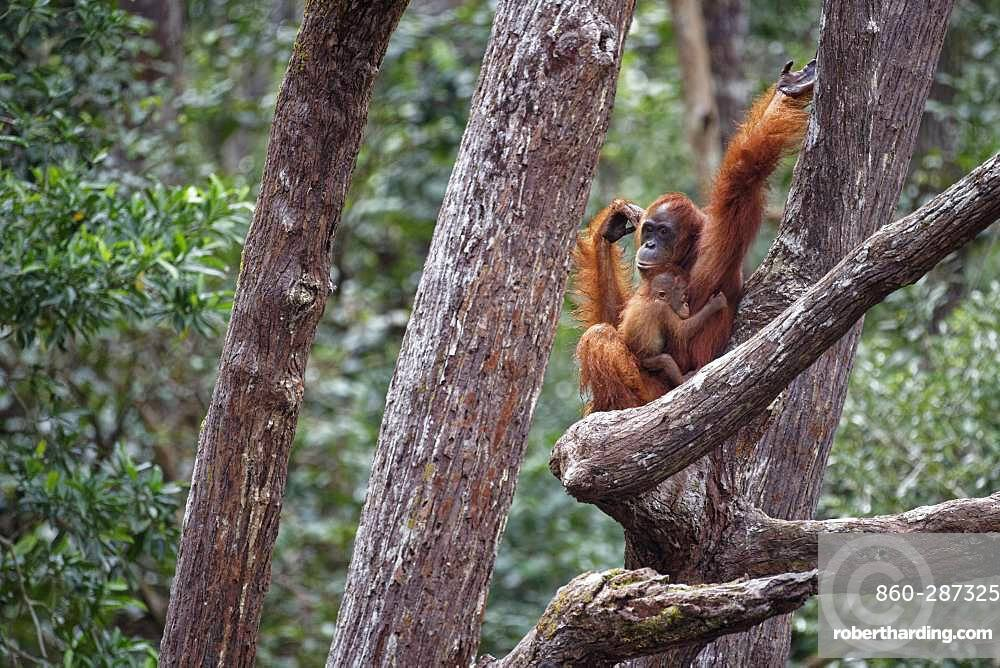 Orang utan (Pongo pygmaeus) with young on a branch, Tanjung Puting, Kalimantan, Indonesia