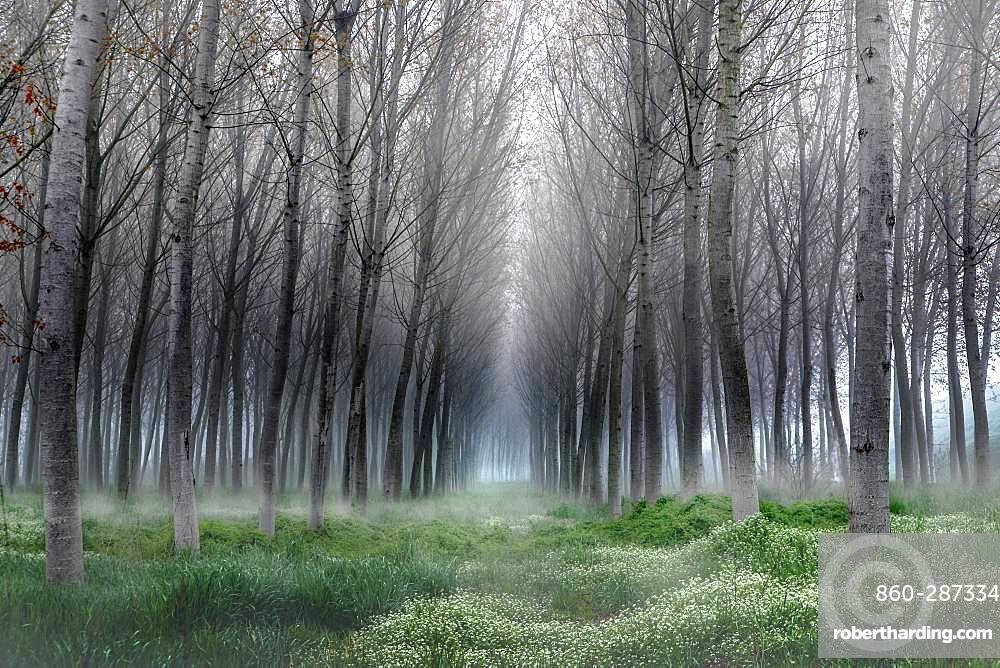 Fog in the poplar, Riva, Mantova, Italy