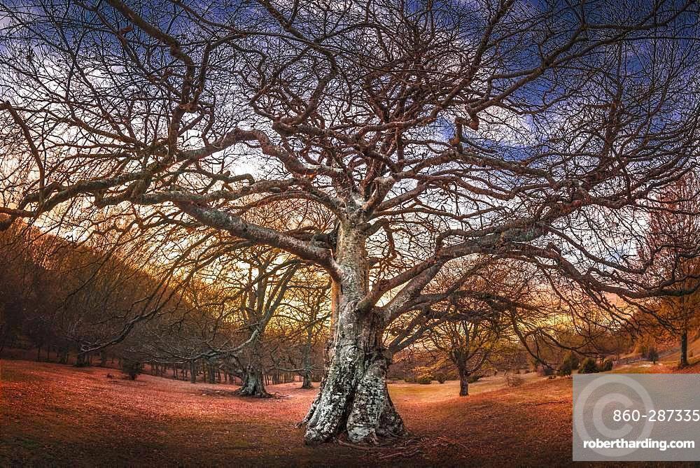 A very old oak tree at sunset, Bardi, Parma, Emilia Romagna, Italy