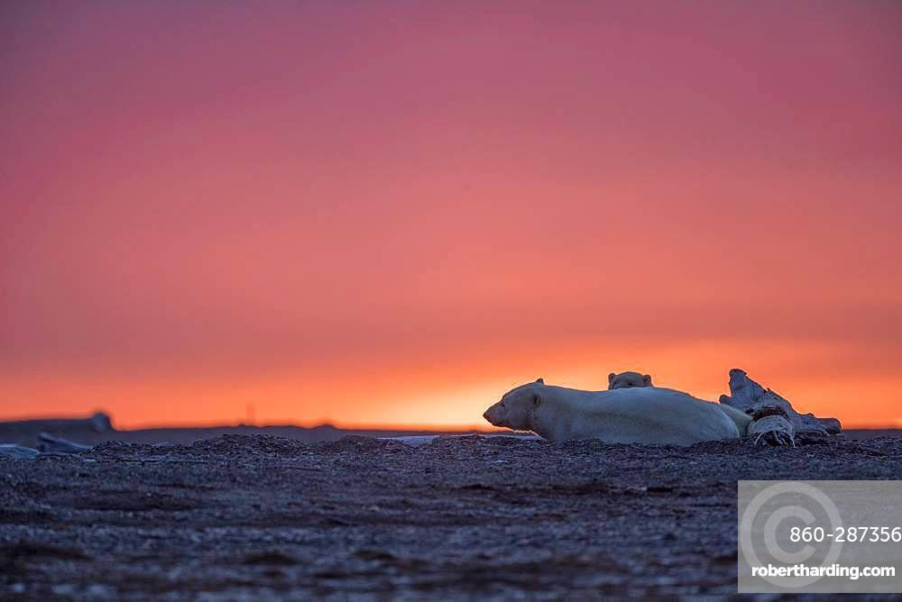 Polar Bear( Ursus maritimus ) female and cub resting at sunset along a barrier island outside Kaktovik, Every fall, polar bears (Ursus maritimus) gather near Kaktovik on the northern edge of ANWR, Barter Island, Arctic National Wildlife Refuge, Alaska