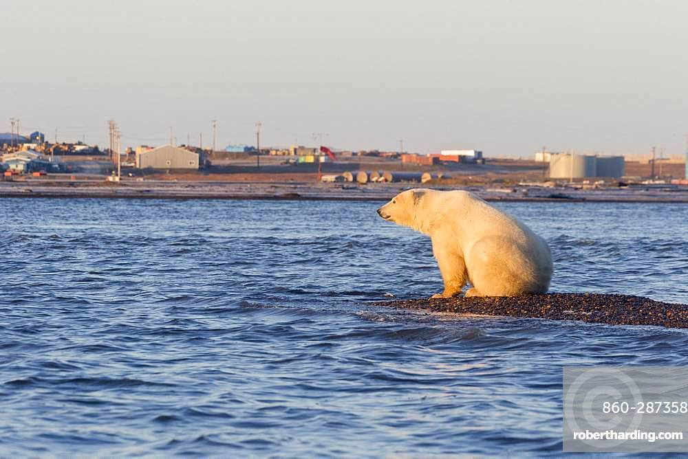 Polar Bear( Ursus maritimus ),near the water edge along a barrier island outside Kaktovik, Every fall, polar bears (Ursus maritimus) gather near Kaktovik on the northern edge of ANWR, Barter Island, Arctic National Wildlife Refuge, Alaska