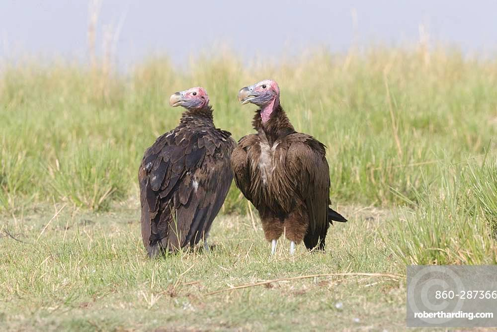 Lappet-faced vulture or Nubian vulture (Torgos tracheliotos), Chobe river, Chobe i National Park, Bostwana