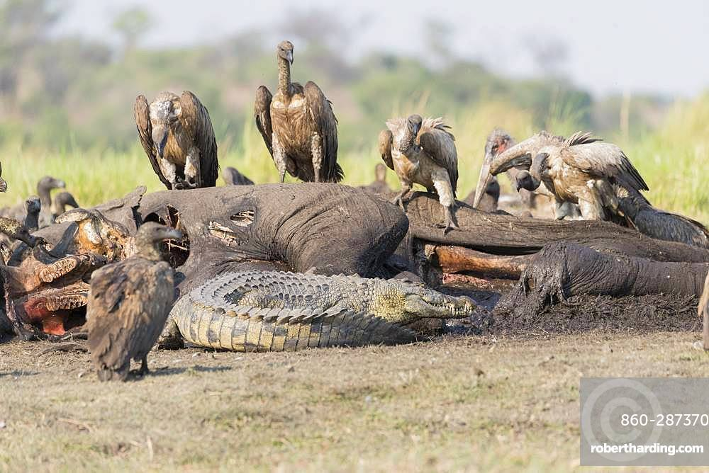 Nile Crocodile (Crocodylus niloticus) comes to eat as well as African vultures (Gyps africanus) an African savanna Elephant or Savannah Elephant (Loxodonta africana), killed, killed by anthrax, Chobe river, Chobe National Park,Bostwana