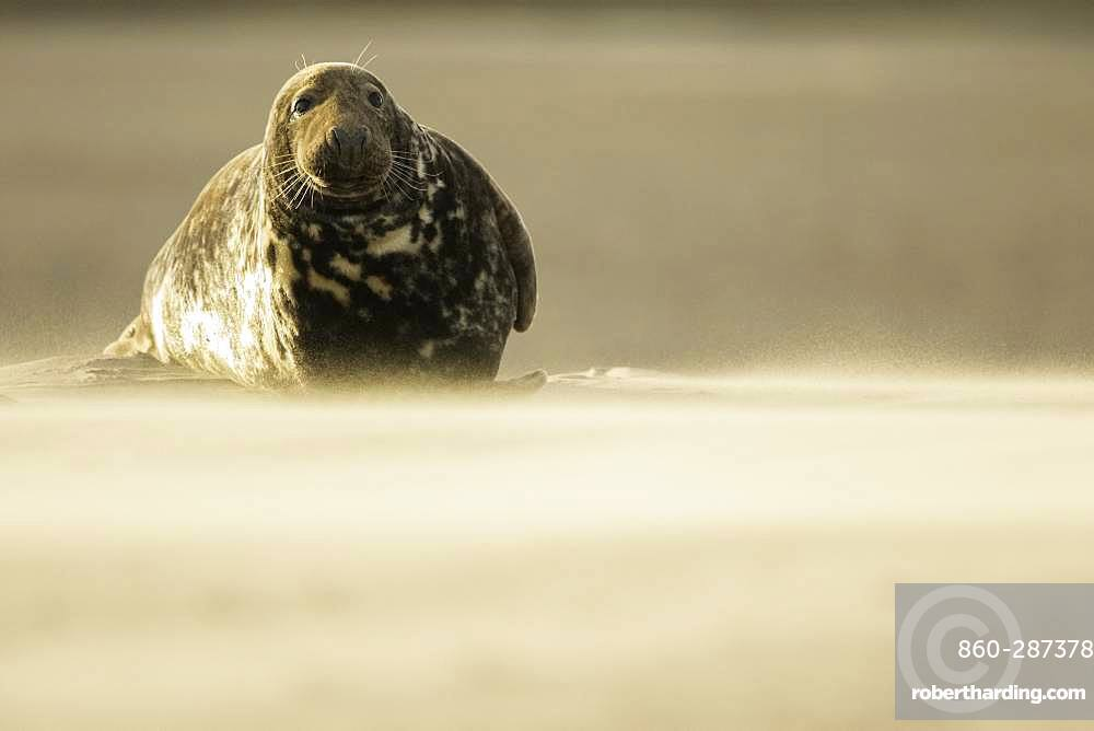 Grey Seal (Halichoerus grypus). A Grey Seal tolerates an ongoing sandstorm off the coast of Lincolnshire in the UK.