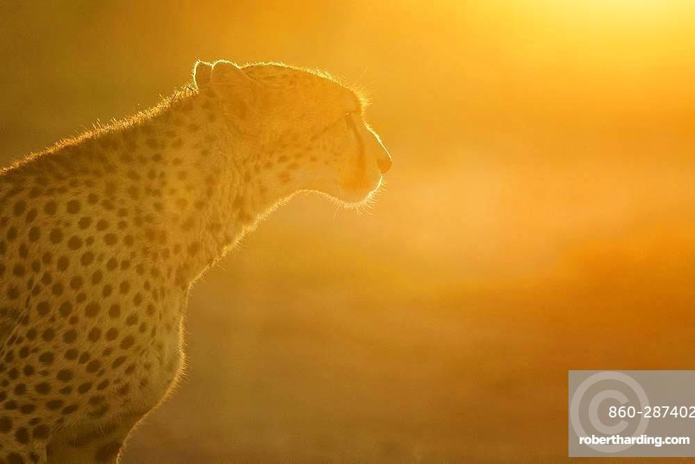 A Cheetah (Acinonyx jubatus) walks into the light in the Maasai Mara, Kenya.