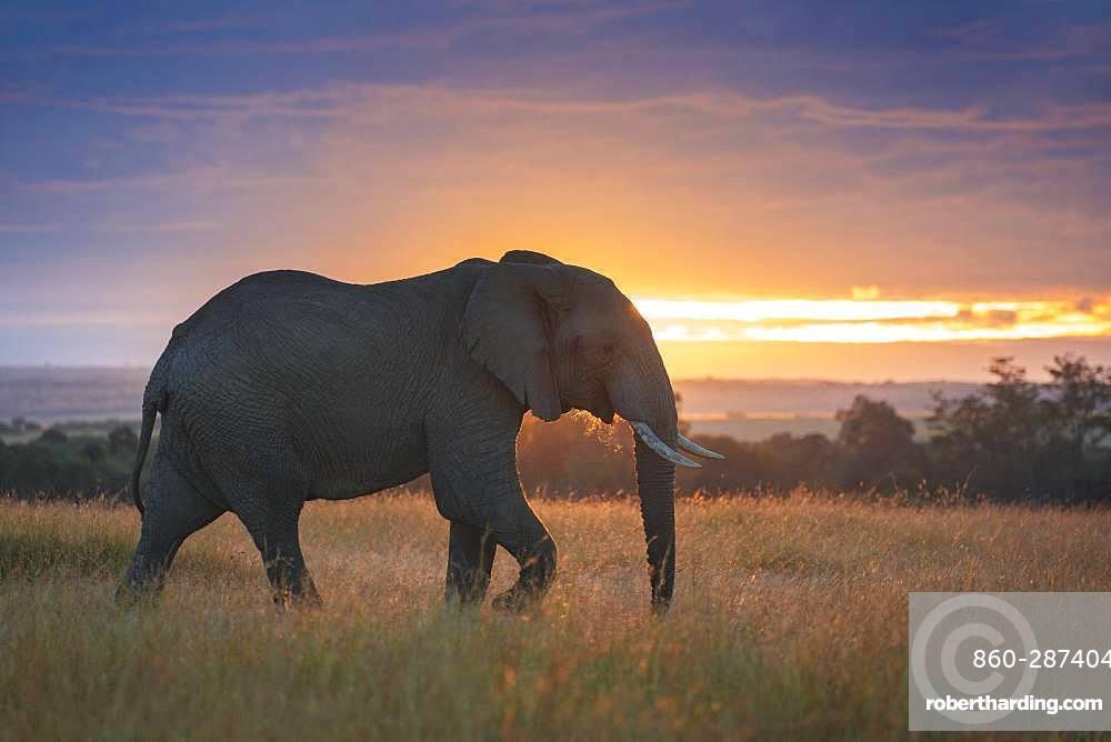 A bull Elephant (Loxodonta africana) crosses the valley in the Maasai Mara, Kenya.