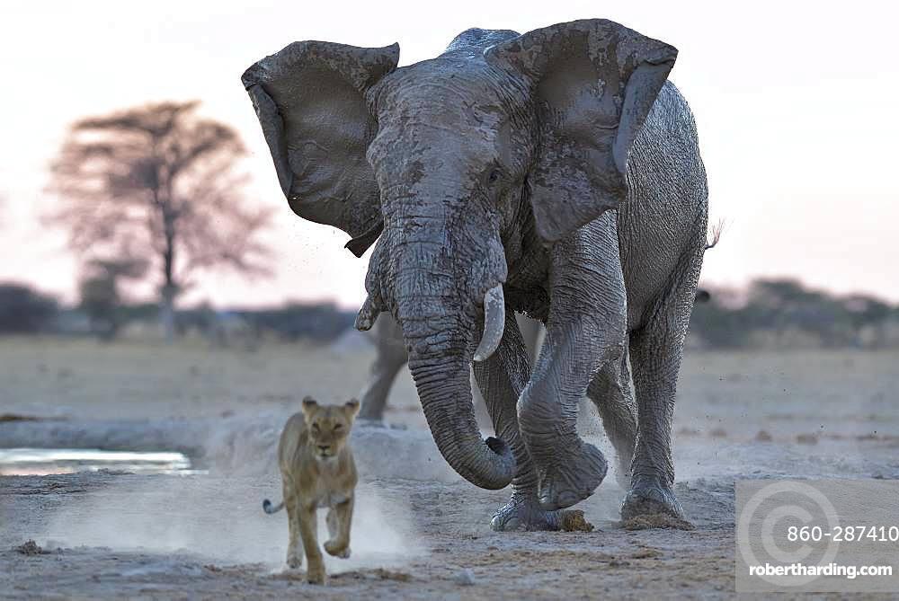 African Elephant (Loxodonta africa) loading a Lion (Panthera leo), Nxai Pan National Park, Botswana