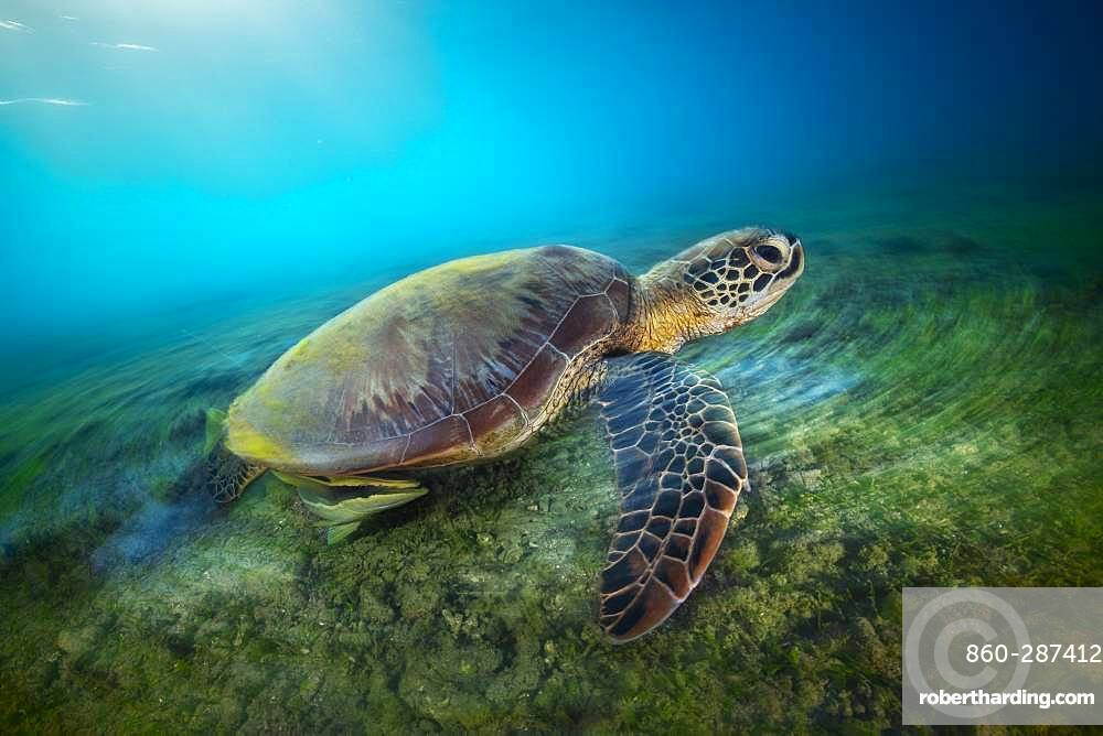 Green turtle (Chelonia mydas) in long exposure. A green turtle swimming on the platier of the beach of N'gouja, in the south of the island of Mayotte.