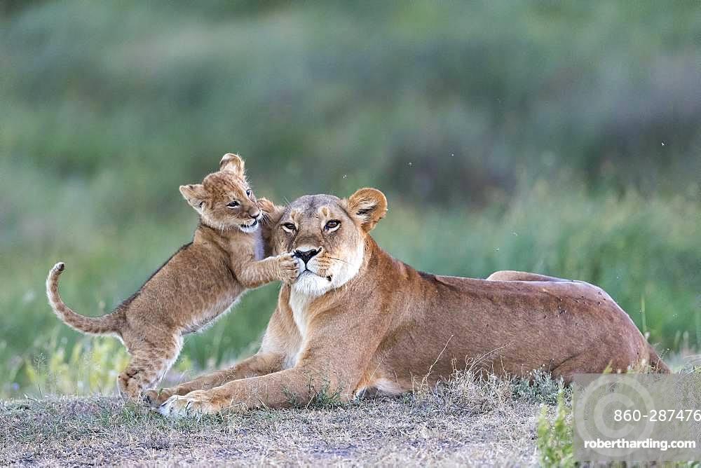 Lion (Panthera leo) lioness with cub, Ngorongoro Conservation Area, Serengeti, Tanzania