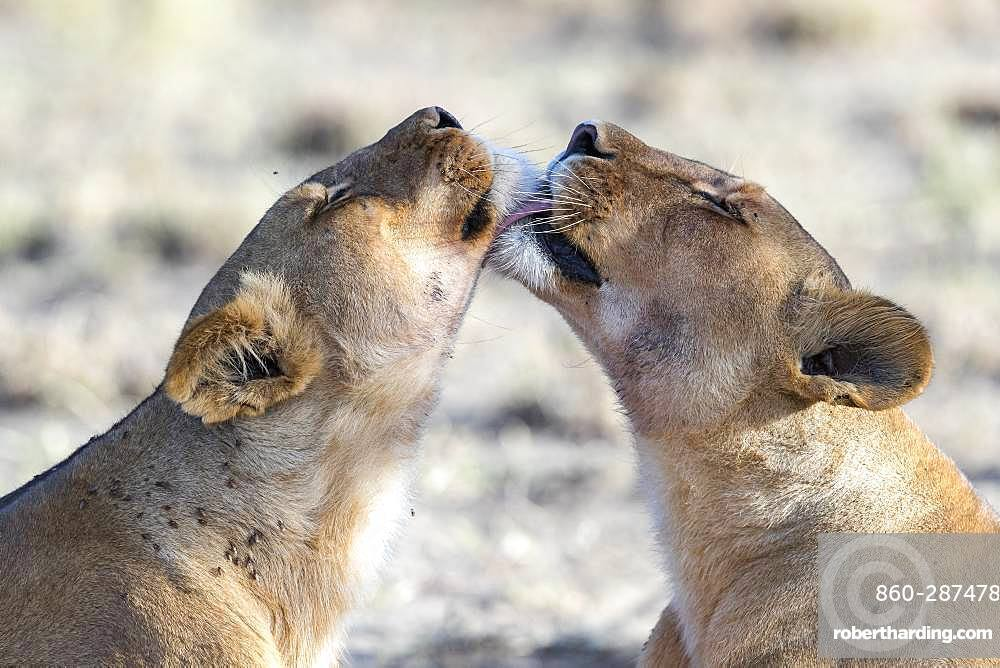 Lion (Panthera leo)lionesses, Ngorongoro Conservation Area, Serengeti, Tanzania