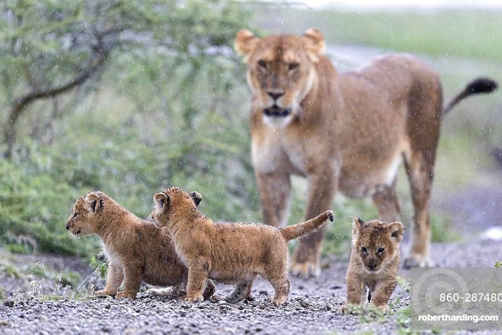 Lion (Panthera leo) lioness with cubs, Ngorongoro Conservation Area, Serengeti, Tanzania