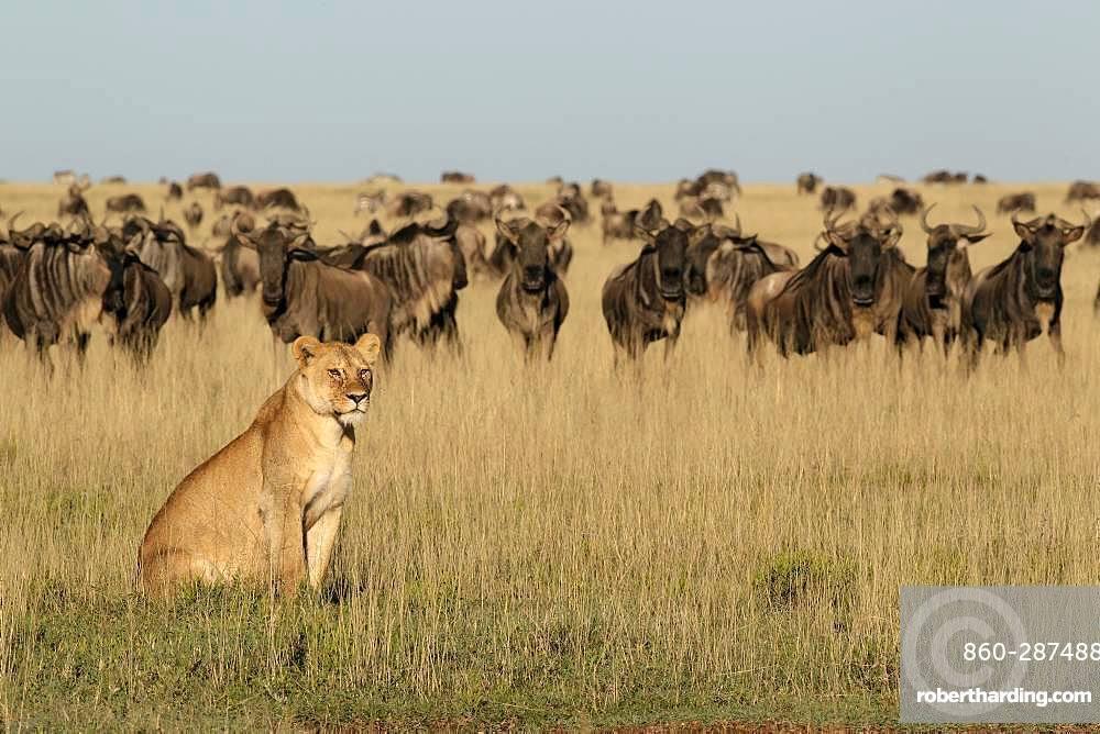 Lion (Panthera leo) lioness in front of a wildebeest (Connochaetes taurinus) herd, Ngorongoro Conservation Area, Serengeti, Tanzania