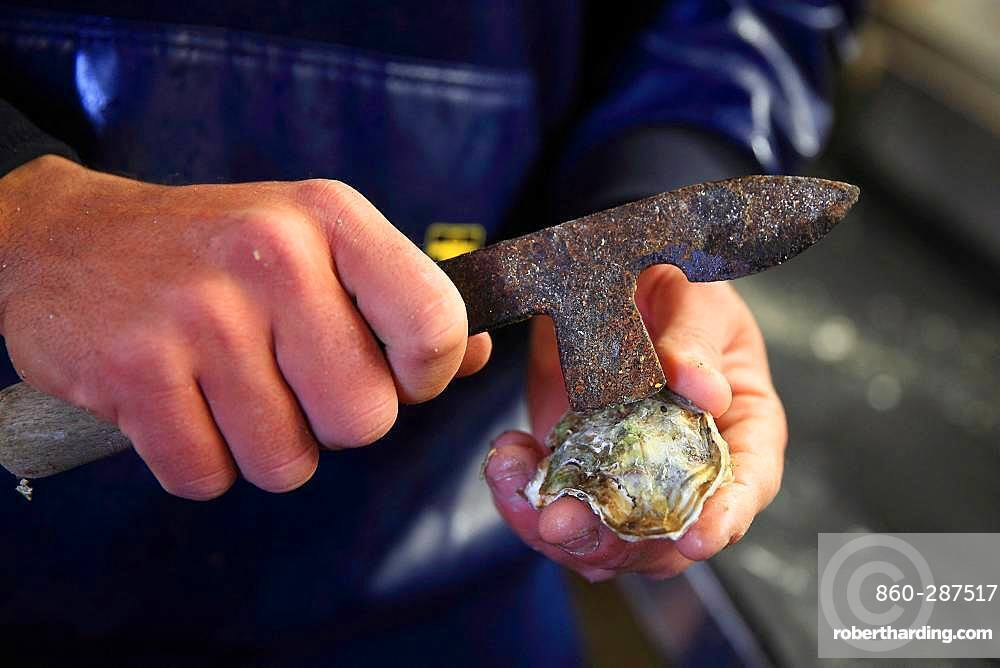Man using a knife to disconnect an oyster Bouzigues, Etang de Thau, France