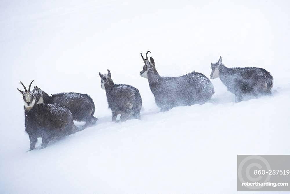 Alpine Chamois (Rupicapra rupicapra) in a snowstorm, Jura, Switzerland.