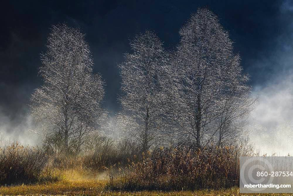 Birches in autumn mist, Bog of the Swamps of Hell, Bugey, Savoie, France