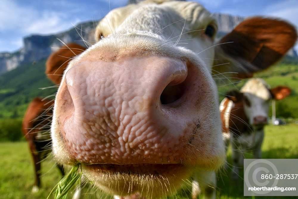 Abondance Heifer in close-up, Massif du Vercors, Isere, France