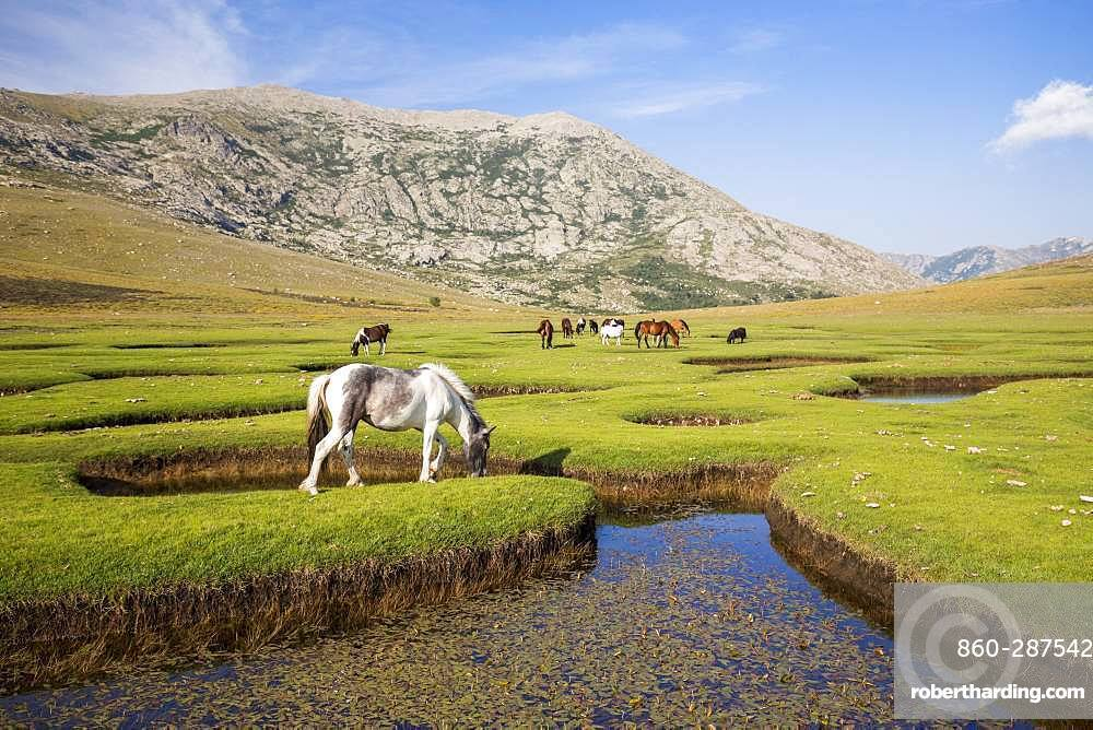 Lake Nino (1760m), horses grazing the grass around the pozzines (small pond of water surrounded by grassy lawns), stage on the GR 20 between the refuge of Manganu and the Col de Verghio or Castellu di Vergio, Haute-Corse, La France