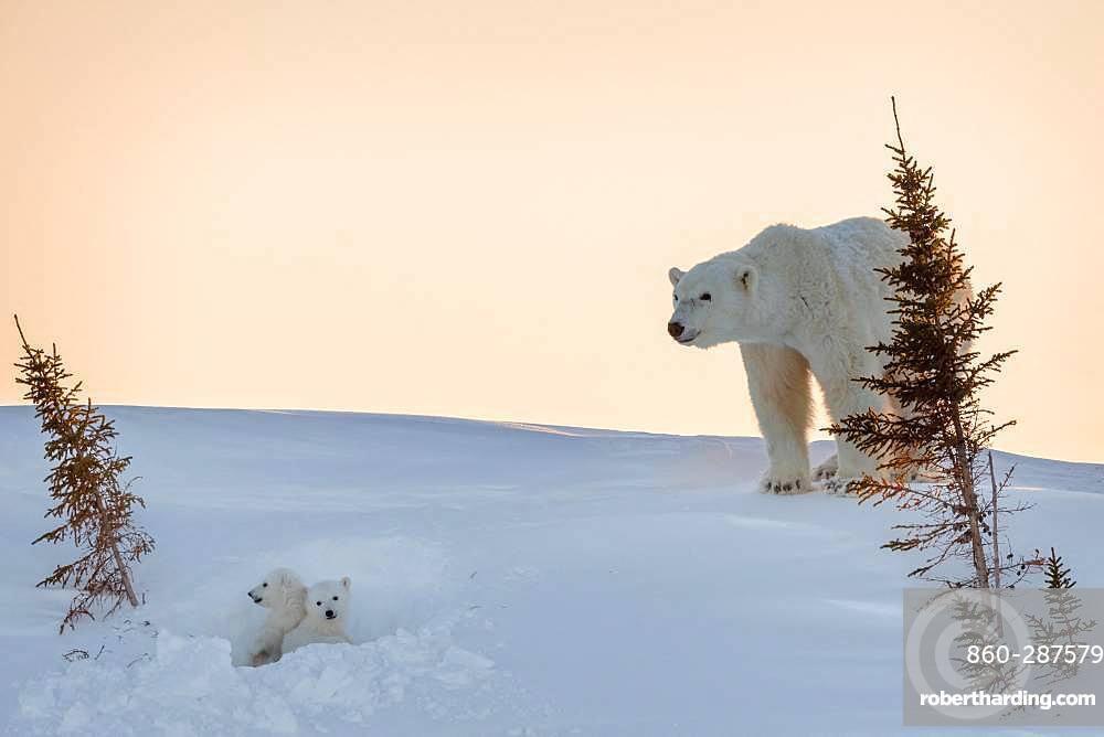 Polar bear (Ursus maritimus), 3 month old cubs in their den. Churchill, MB, Canada
