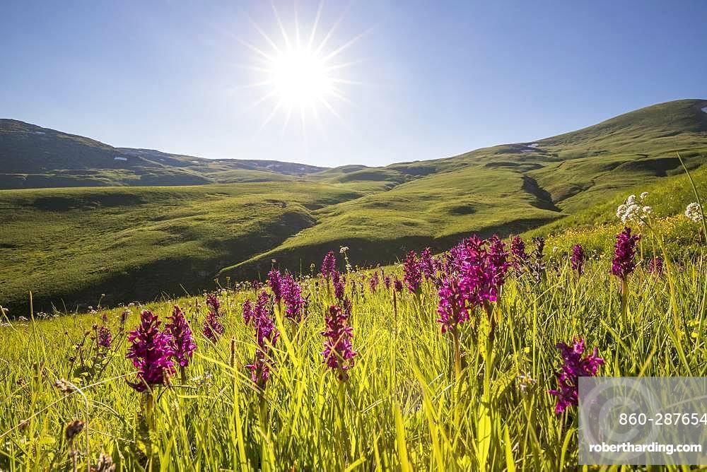 Flowerbed with elderflower Orchis (Dactylorhiza latifolia) on the Emparis plateau, La Grave, ecrins National Park, Hautes-Alpes, France