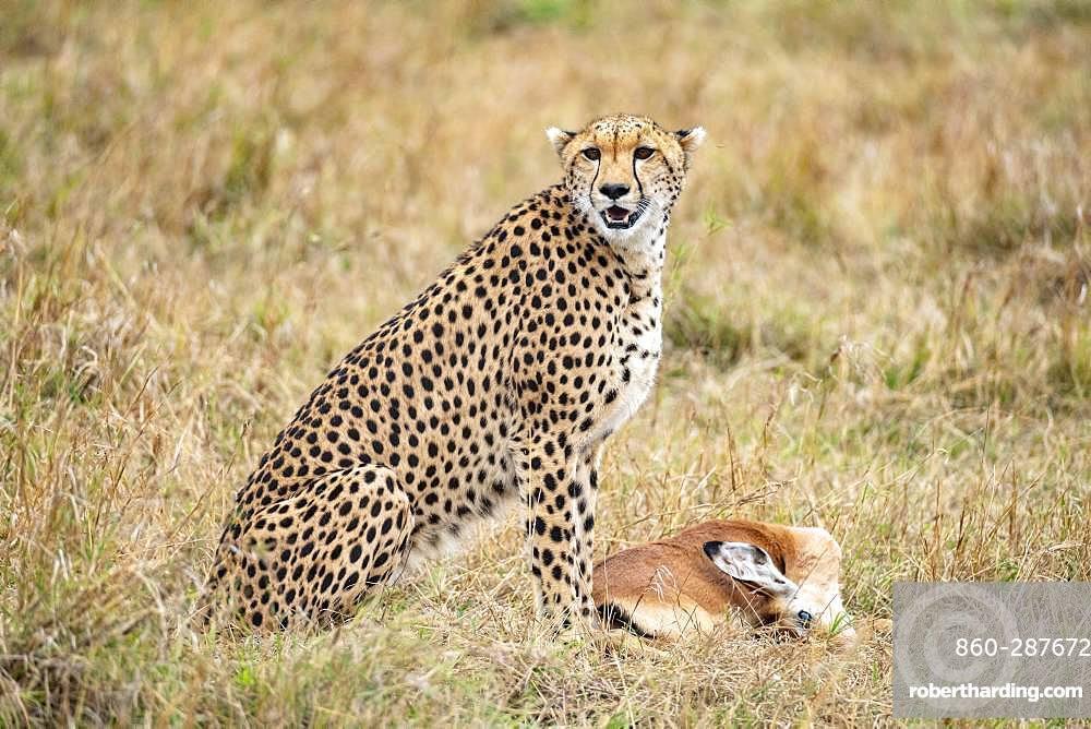 Cheetah (Acinonyx jubatus), female calling her young to eat, Masai-Mara National Reserve, Kenya