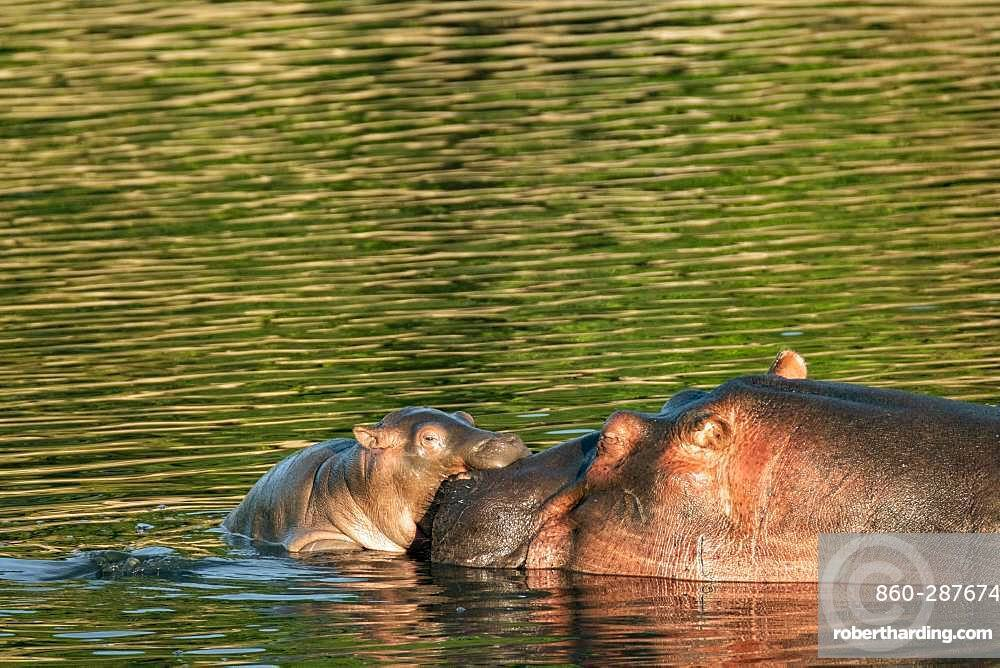 Hippopotamus (Hippopotamus amphibius), female and her young, Masai-Mara Reserve, Kenya
