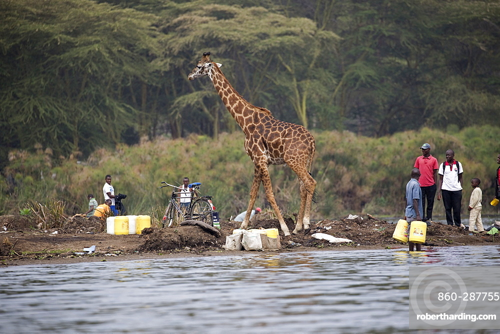 Eric the tame giraffe (Giraffa camelopardalis) amongst fishermen on shore, Lake Naivasha, Kenya