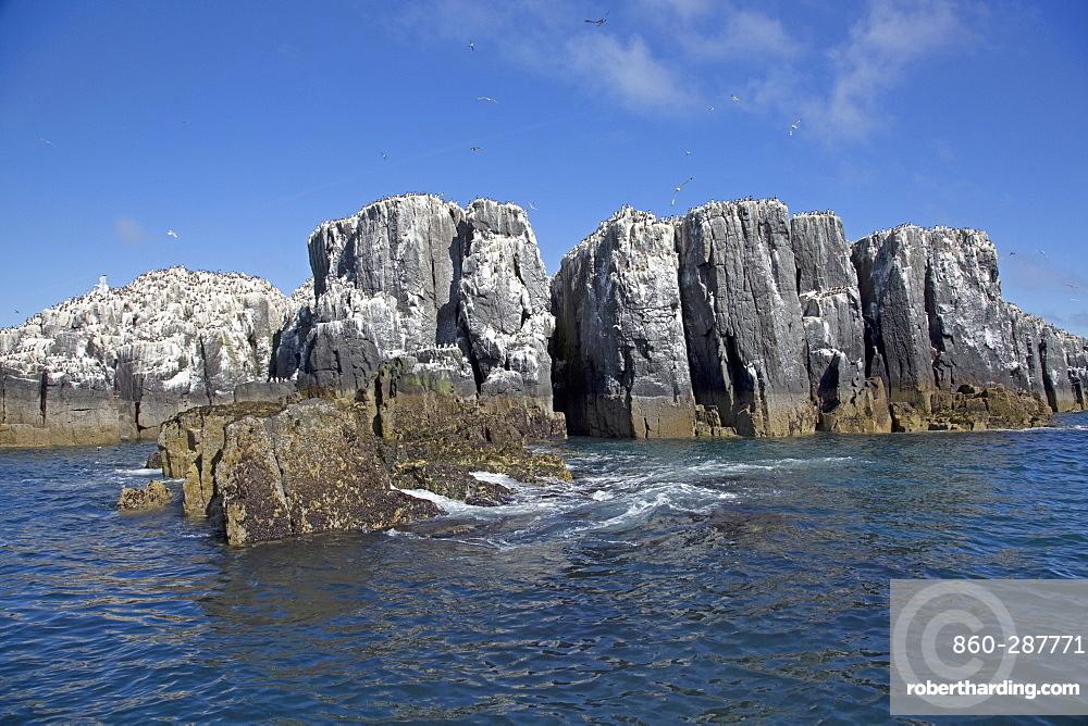 Pillars of rock with Guillemot colonies, Staple Island, Farne Island, Northumberland, UK