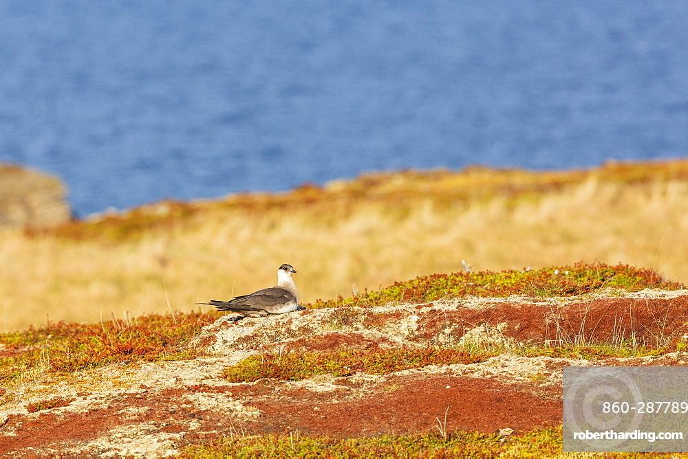 Arctic Skua (Stercorarius parasiticus) on the ground, Ekkerøy, Varanger, Norway