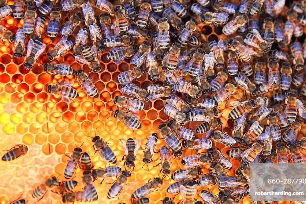 Honey bees (Apis mellifera) on pollen cells