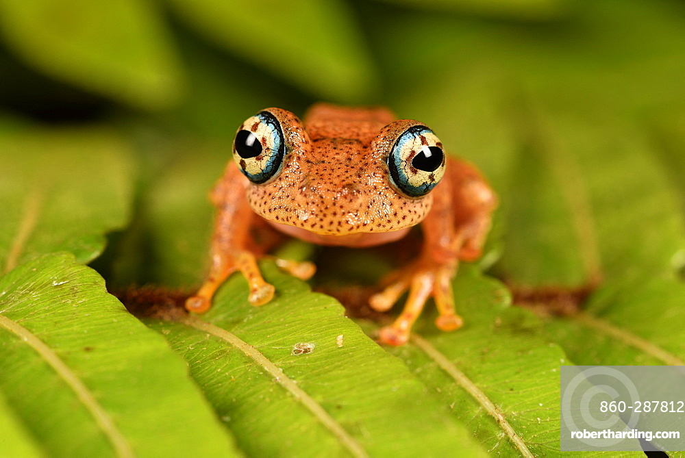 Fiery Bright-eyed Frog (Boophis pyrrhus) on a leaf, Andasibe, Périnet, Région Alaotra-Mangoro, Madagascar