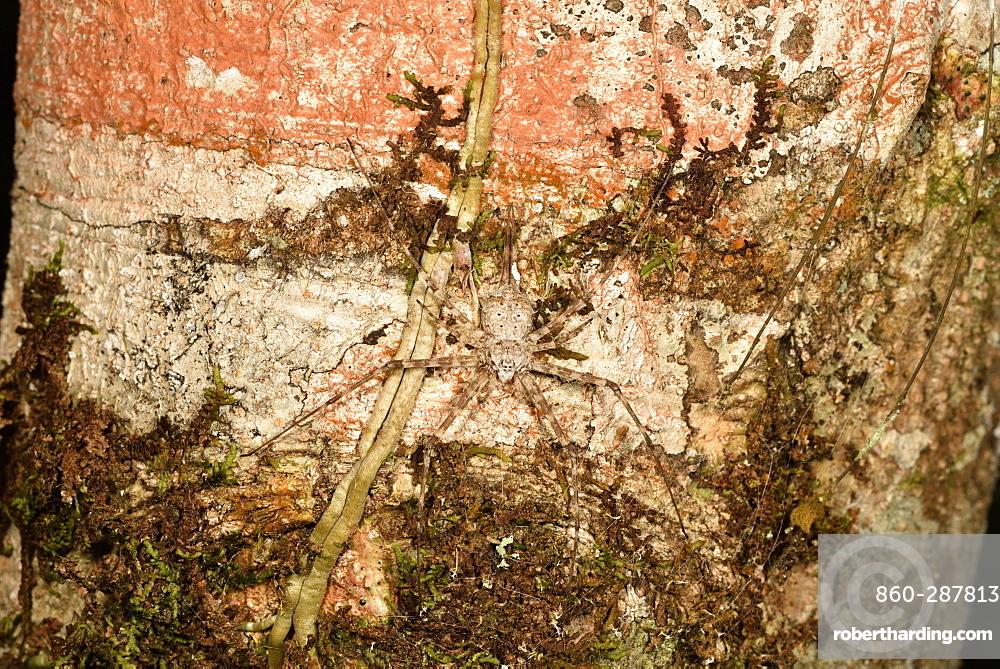 Two-tailed spider (Hersilia sp) on bark, Andasibe, Périnet, Région Alaotra-Mangoro, Madagascar