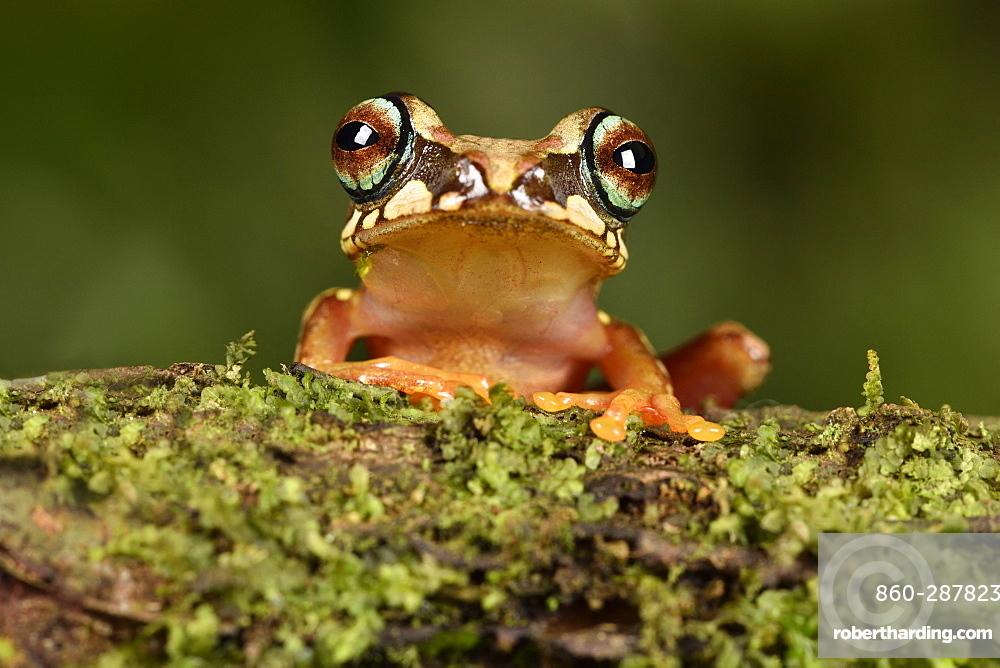Blue ringed tree frog (Boophis picturatus), Andasibe, Périnet, Région Alaotra-Mangoro, Madagascar