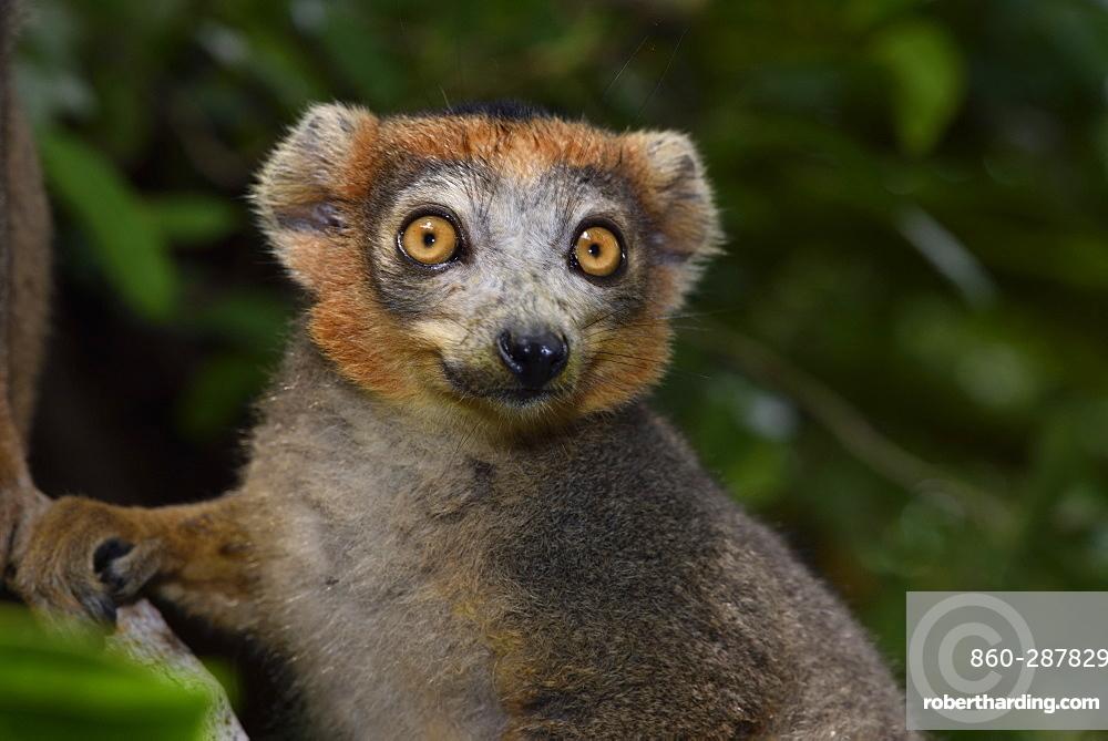 Crowned lemur (Eulemur coronatus) male in the forest, Pangalanes Canal, Ampitabe Lake, Atsinanana Region, Madagascar