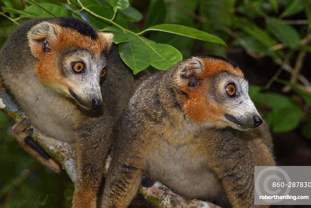 Crowned lemur (Eulemur coronatus) males in the forest, Pangalanes Canal, Ampitabe Lake, Atsinanana Region, Madagascar