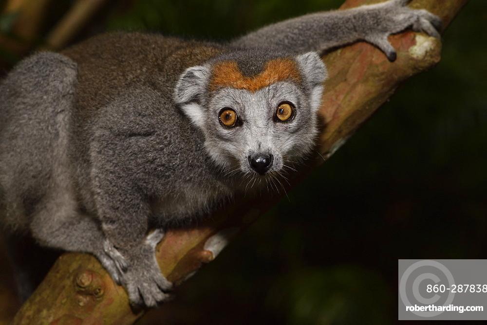 Crowned lemur (Eulemur coronatus) female in the forest, Pangalanes Canal, Ampitabe Lake, Atsinanana Region, Madagascar
