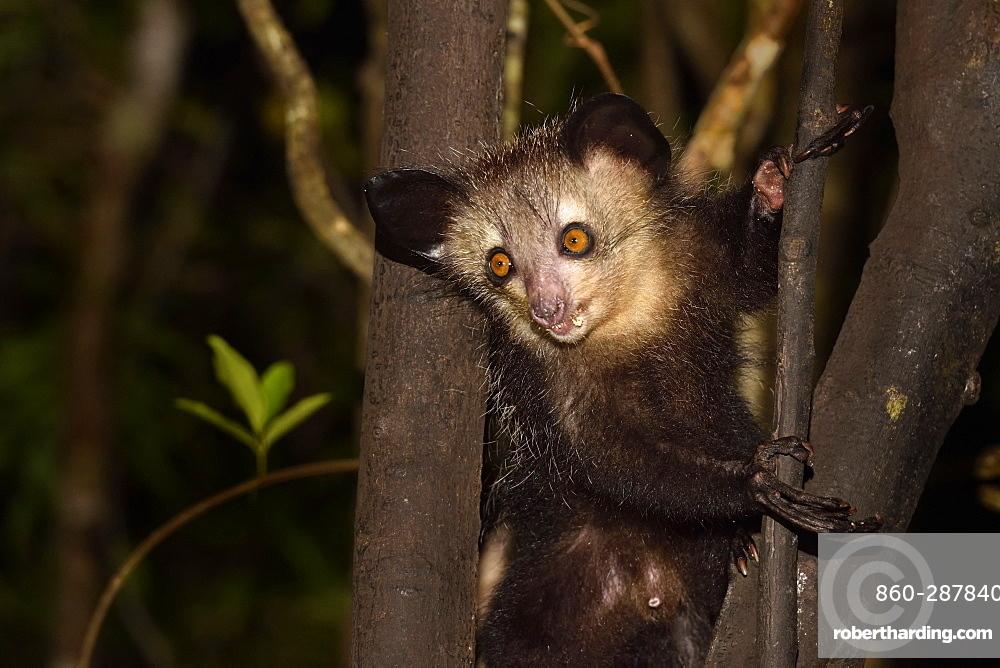Aye-aye (Daubentonia madagascariensis) in the forest at night, Pangalanes Canal, Ampitabe Lake, Atsinanana Region, Madagascar
