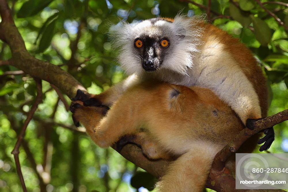 female in the forest, Pangalanes Canal, Ampitabe Lake, Atsinanana Region, Madagascar