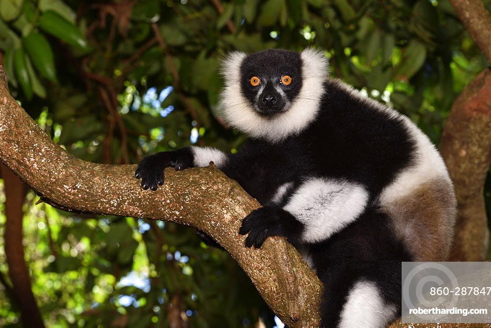 Ruffed lemur (Varecia variegata) in the forest, Pangalanes Canal, Ampitabe Lake, Atsinanana Region, Madagascar