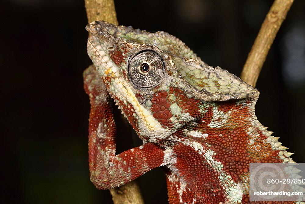 Panther Chameleon (Furcifer pardalis) male portrait, Pangalanes Canal, Ampitabe Lake, Atsinanana Region, Madagascar