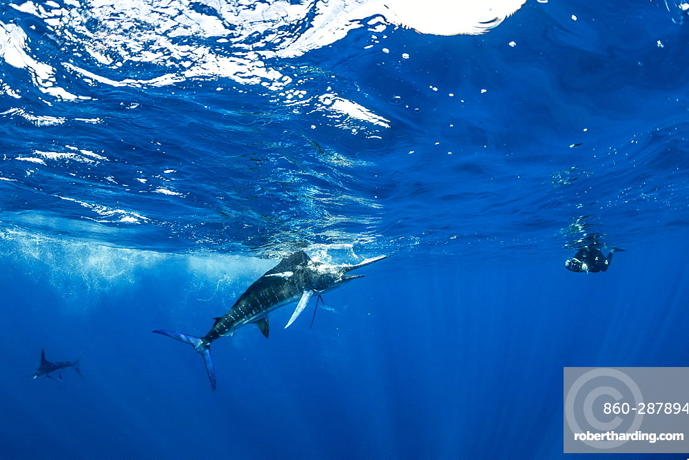 Free diver photographing Striped marlin (Tetrapturus audax) that he has just taken a sardine from a bait ball (Sardinops sagax), Magdalena Bay, West Coast of Baja California, Pacific Ocean, Mexico