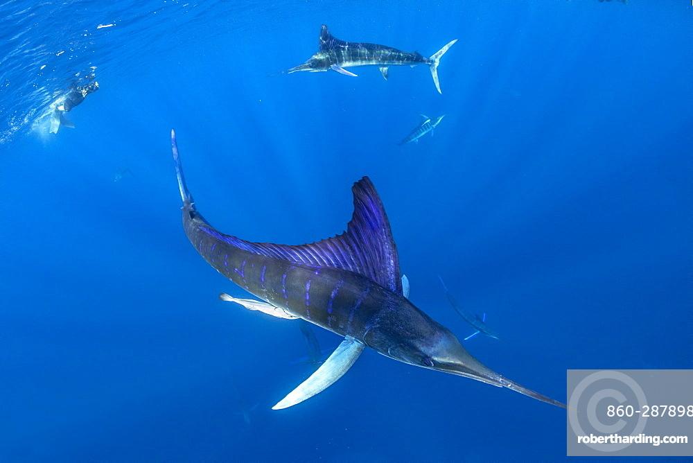 Free diver photographing Striped marlin (Tetrapturus audax) feeding on sardine's bait ball (Sardinops sagax), Magdalena Bay, West Coast of Baja California, Pacific Ocean, Mexico