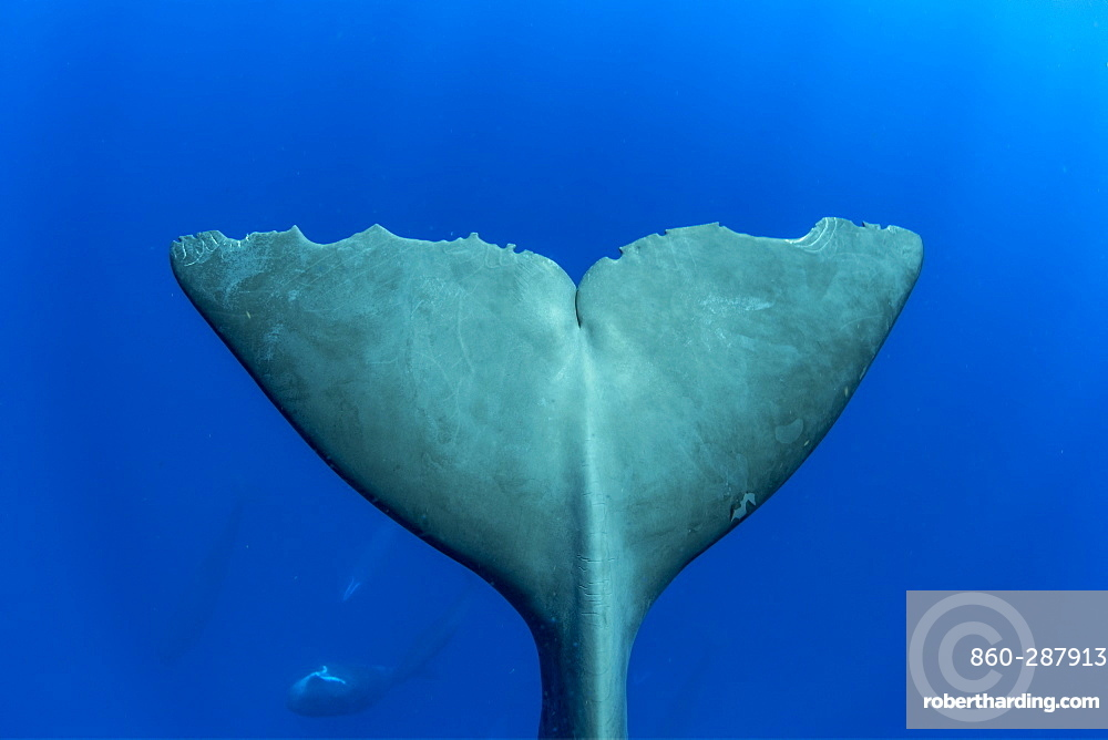 Tail of sperm whale, (Physeter macrocephalus). Vulnerable (IUCN). The sperm whale is the largest of the toothed whales. Sperm whales are known to dive as deep as 1,000 meters in search of squid to eat. Image has been shot in Dominica, Caribbean Sea, Atlantic Ocean. Photo taken under permit n°RP 16-02/32 FIS-5.