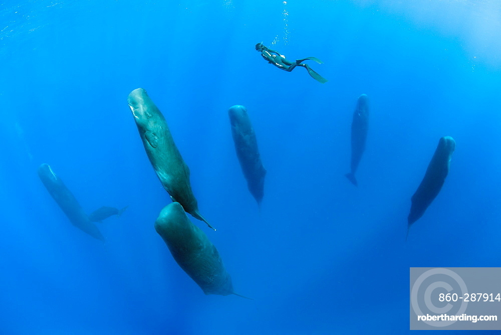 Free diver is swimming over a pod of Sleeping sperm whale (Physeter macrocephalus) Researchers first saw this unusual sleep behavior in sperm whales in 2008. The scientists in that study found that sperm whales dozed in this upright drifting posture for about 10 to 15 minutes at a time, Vulnerable (IUCN). The sperm whale is the largest of the toothed whales. Sperm whales are known to dive as deep as 1,000 meters in search of squid to eat. Dominica, Caribbean Sea, Atlantic Ocean. Photo taken under permit n°RP 16-02/32 FIS-5.
