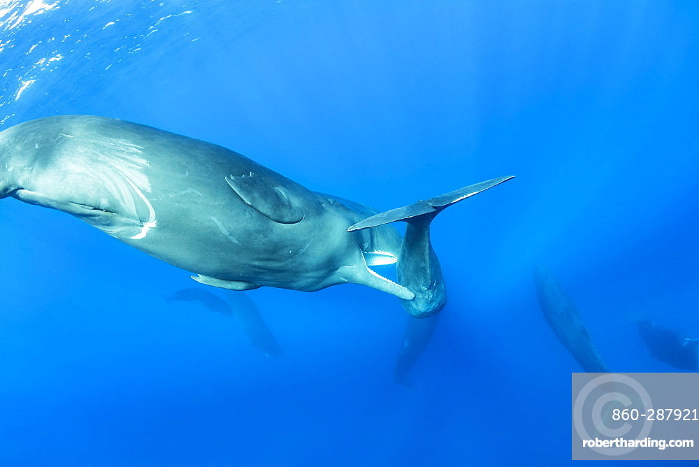 Sub-adult sperm whale try to move away a calf to to mate with a female, (Physeter macrocephalus), Vulnerable (IUCN), The sperm whale is the largest of the toothed whales. Sperm whales are known to dive as deep as 1,000 meters in search of squid to eat. Image has been shot in Dominica, Caribbean Sea, Atlantic Ocean. Photo taken under permit n°RP 16-02/32 FIS-5.