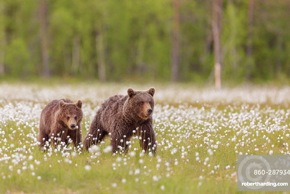 Bear cubs (Ursus arctos) walking, in a peat bog and coton grass, near a forest in Suomussalmi, Finland