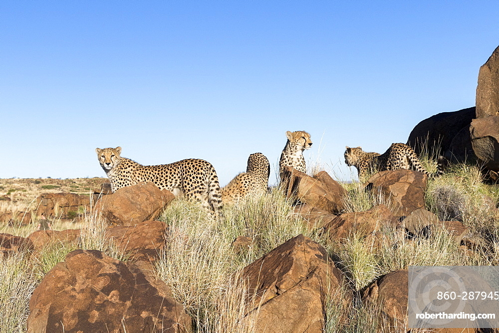 Cheetahs (Acinonyx jubatus), on rock, Private reserve, South Africa